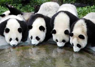 4 pandas